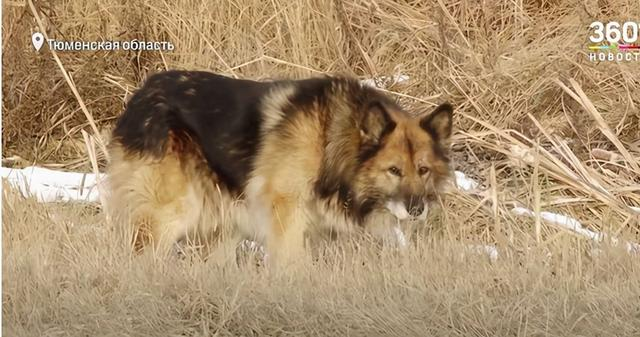 The big wolf dog waited for many years, but did not wait for the owner! Such a loyal dog, the locals can't bear it to suffer