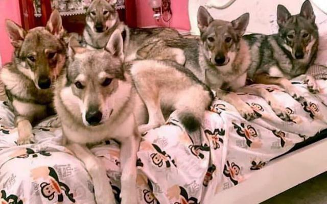 An old Italian woman was tortured and killed by five pet dogs, which have the attributes of a wolf