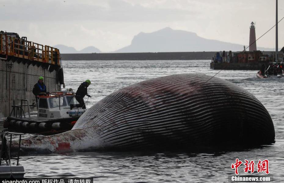 A whale stranded and died in the Gulf of Naples, Italy