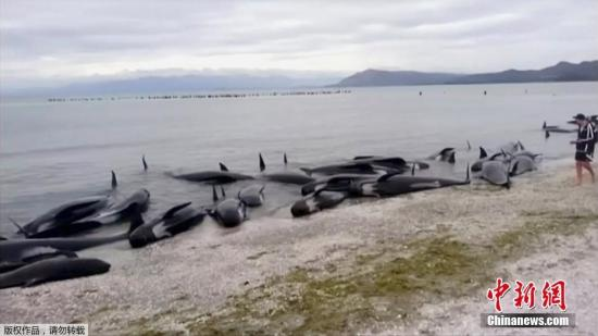 New Zealand whale stranding incident: 28 whales were pushed back into the sea but feared to land again