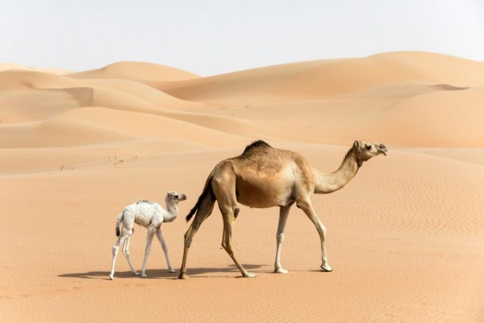 Researchers reveal how dromedary Arabian camels survived extreme conditions without drinking water