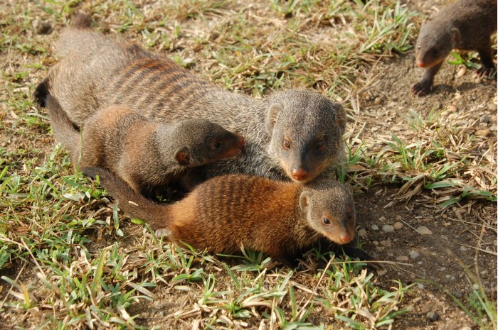 """A fair society evolves from the """"veil of ignorance"""": see how the banded mongoose solves the problem of group inequality"""