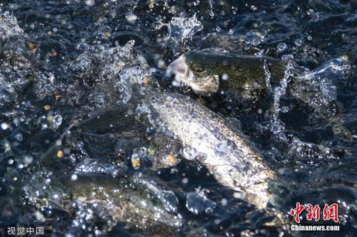 Heat waves raging, water temperature is too high, salmon in western U.S. rivers has been wiped out