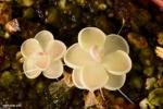 חמאית Pinguicula ehlesiae