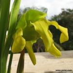 פריחת שופרית צהבהבה Sarracenia flava ssp flava flower