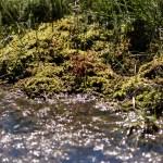 צמח טורף טללית Drosera intermedia
