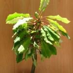 חלבלוב-תכשיט-מדגסקר-Euphorbia-leuconeura-בוגר