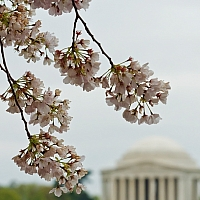 Cherry-Blossoms-and-the-Jefferson-Memorial