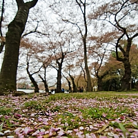 Cherry-blossom-petals-everywhere