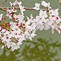 Cherry-Blossom-flowers-over-the-Tidal-Basin