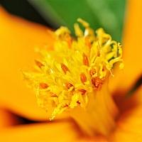 Cosmos-flower-close-up