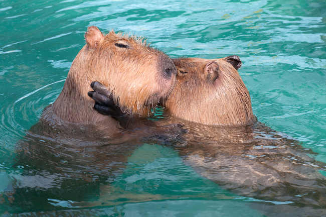 dailycapybara_blog