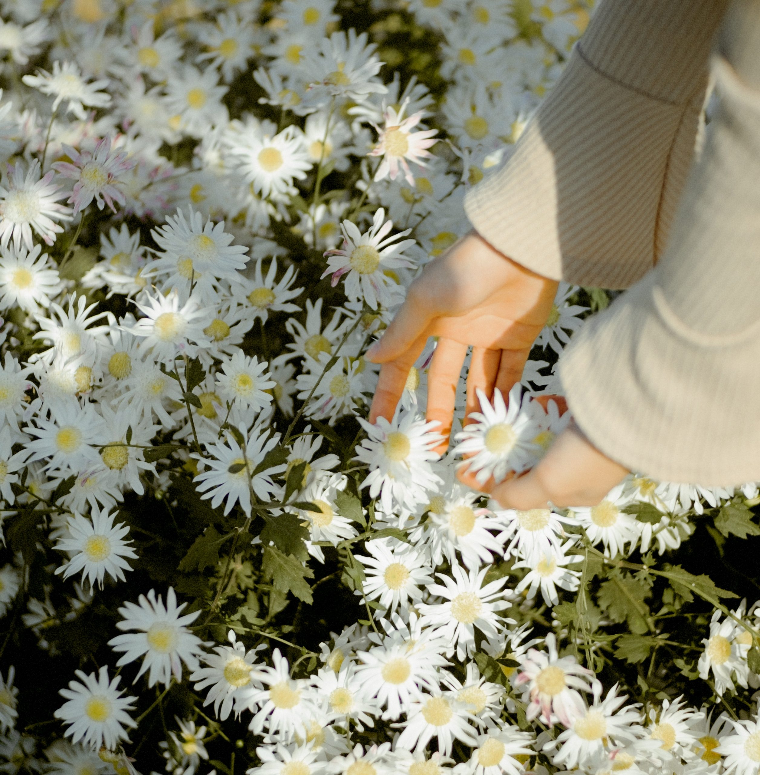 woman gathering white flowers from the garden