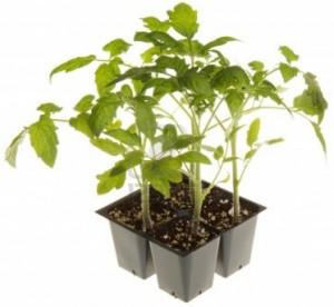 TomatoSeedlings