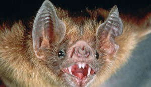az_vampire_bat