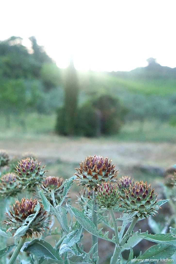 A big artichoke plant growing in Tuscany Italy.