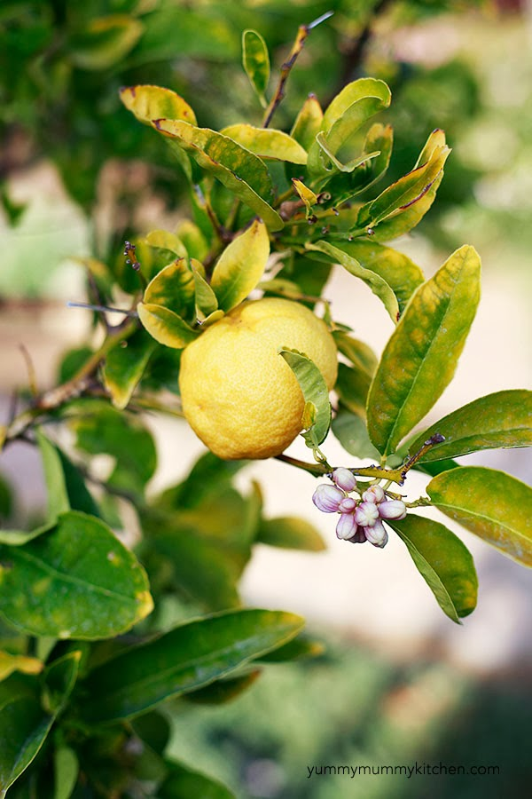 A backyard California lemon tree is used to make lemonade.