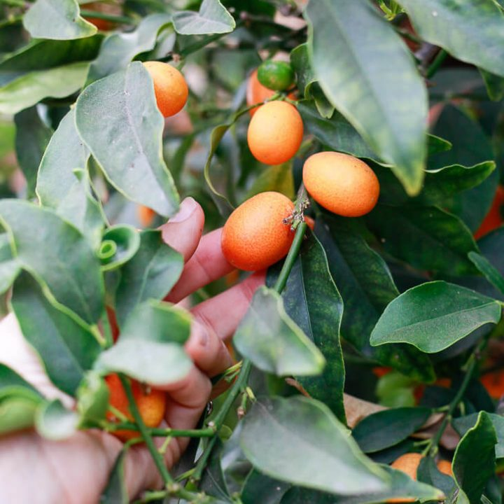 A hand picks a kumquat off a kumquat tree.