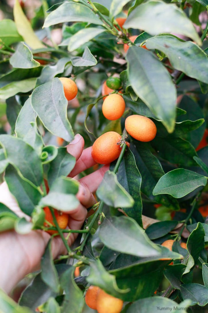 Picking fresh kumquats for kumquat marmalade.
