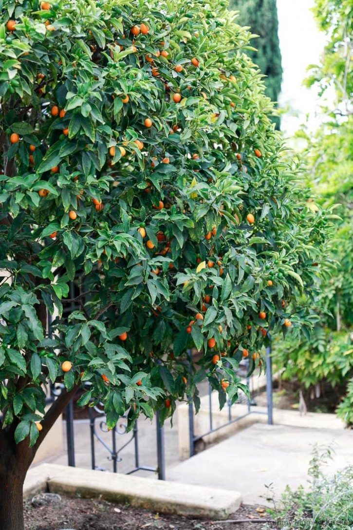A large kumquat tree planted in the ground in a backyard.