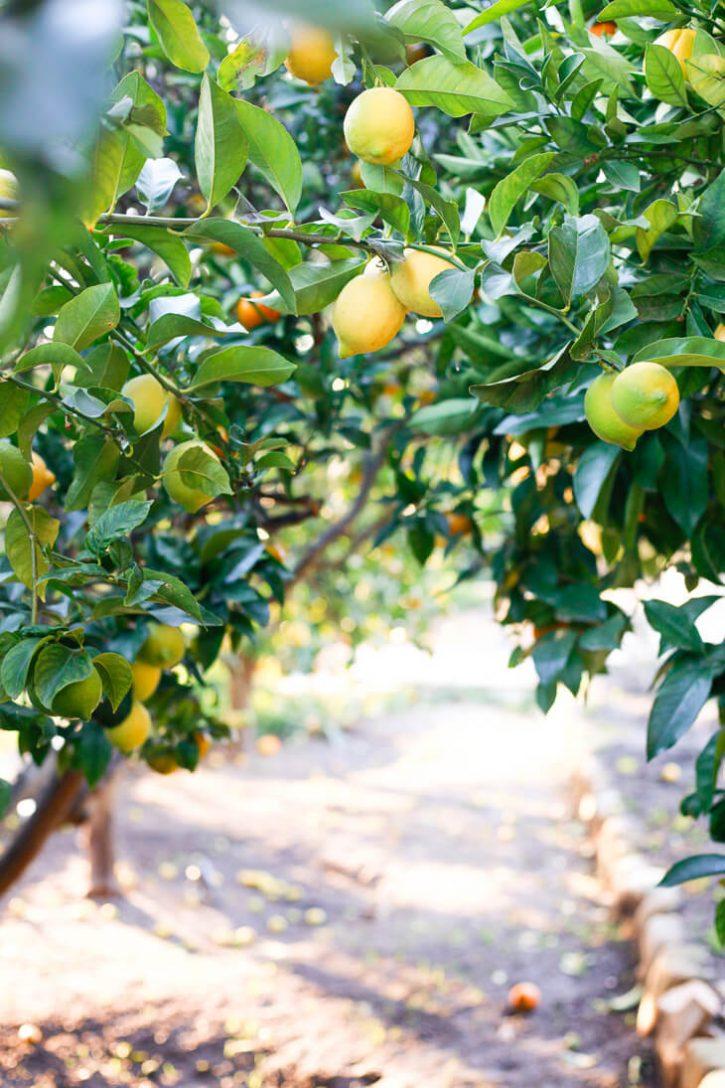 A beautiful photo of California lemon and orange trees.