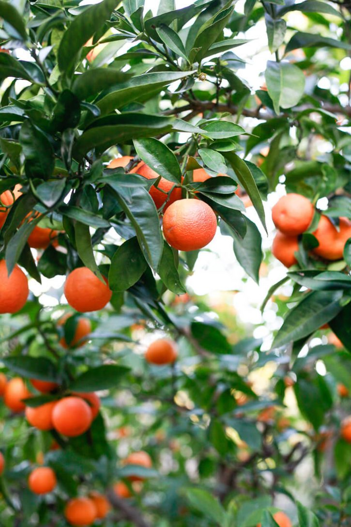 A close-up photo of a blood orange tree with many dark orange fruits and green leaves.