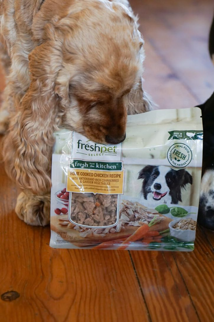 A golden English Cocker Spaniel sniffs a bag of Freshpet dog food.