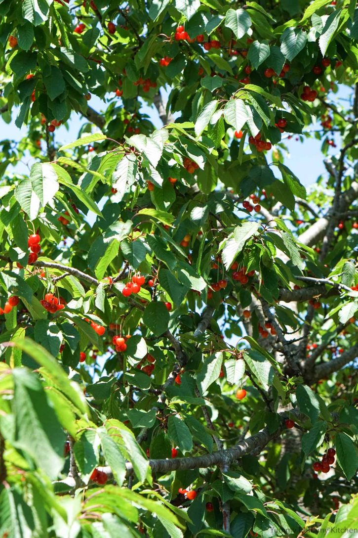 Looking up into a cherry tree with green leaves and red cherries.