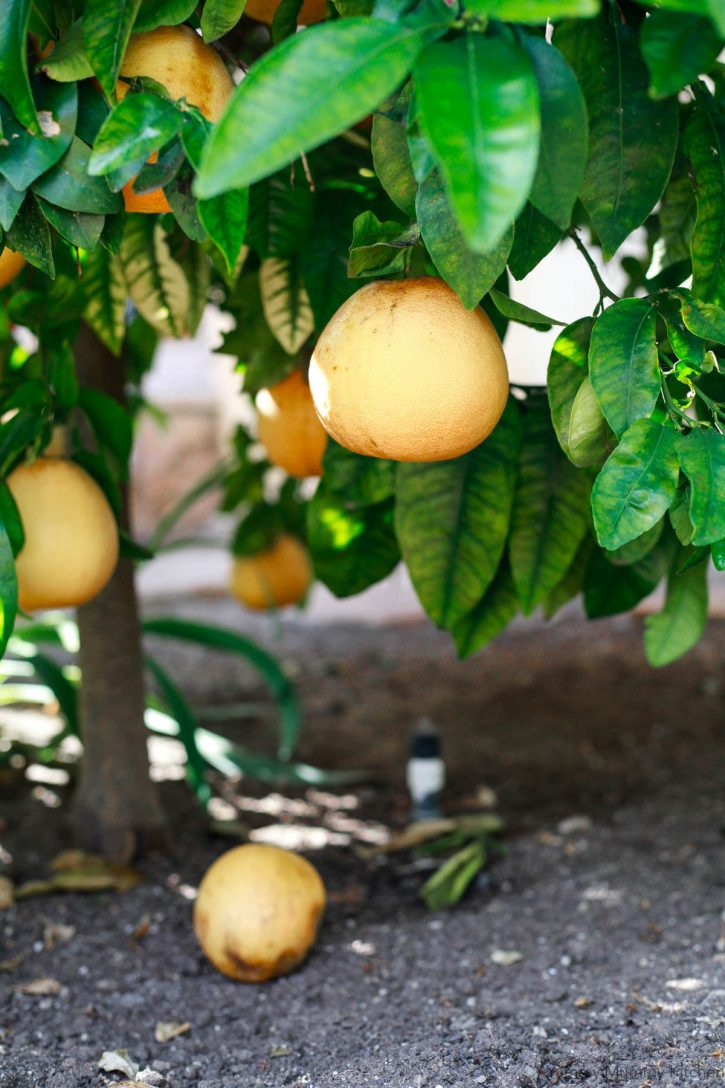 A grapefruit tree.