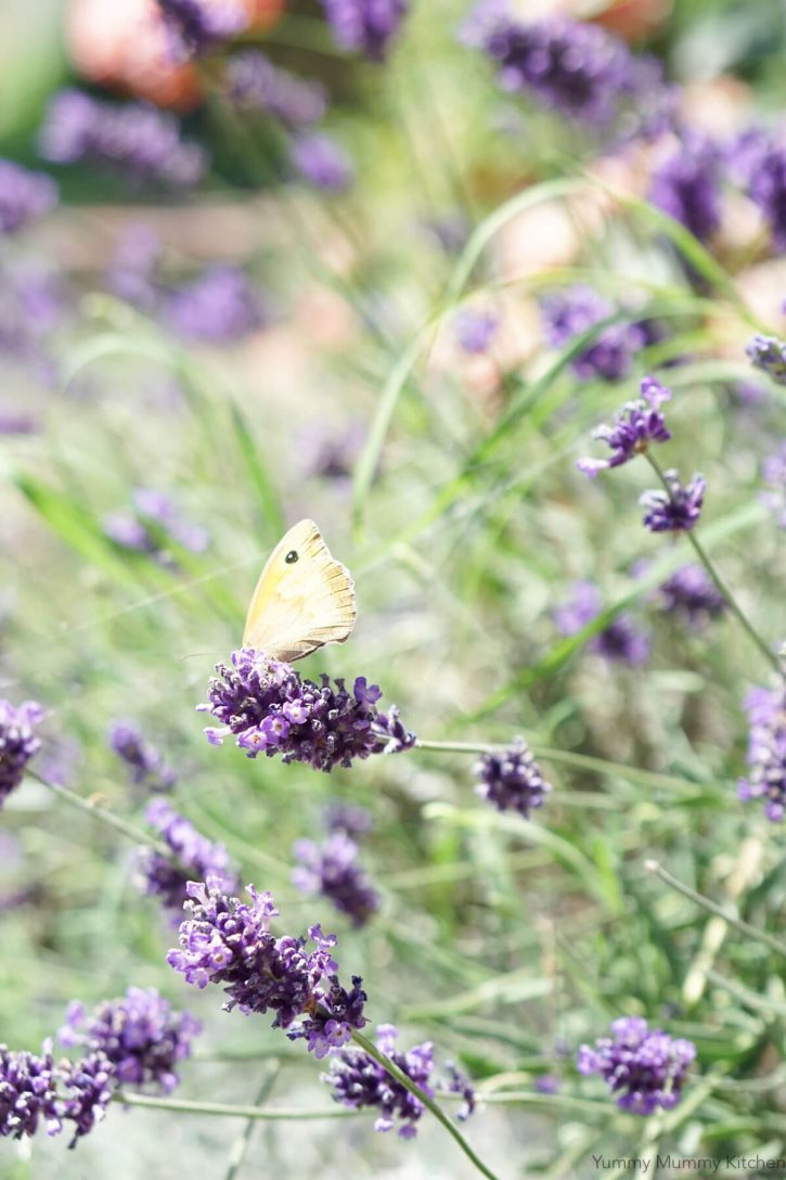 A butterfly sits on a lavender flower.