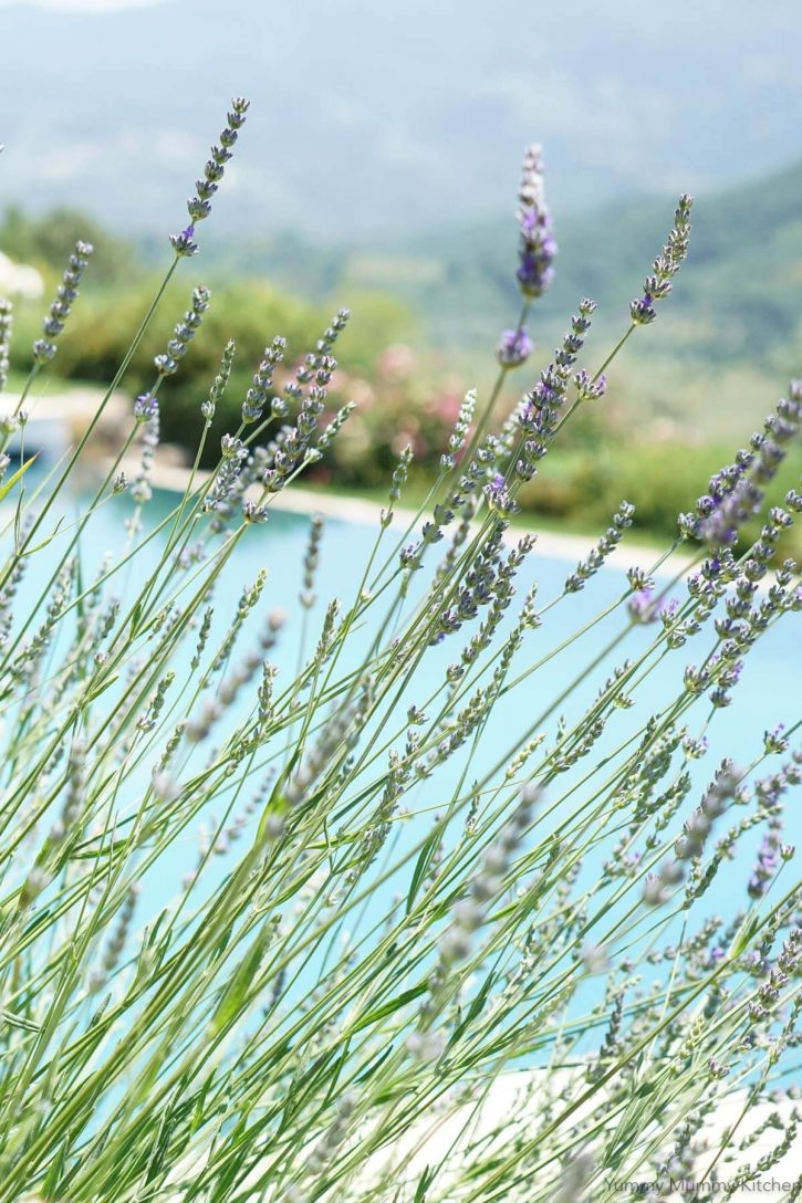Beautiful fresh lavender bushes in Tuscany Italy.