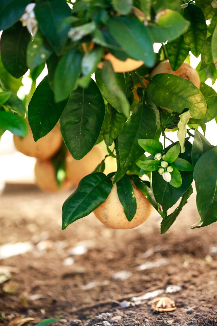 Photograph of a grapefruit tree with pink grapefruits and flowers.
