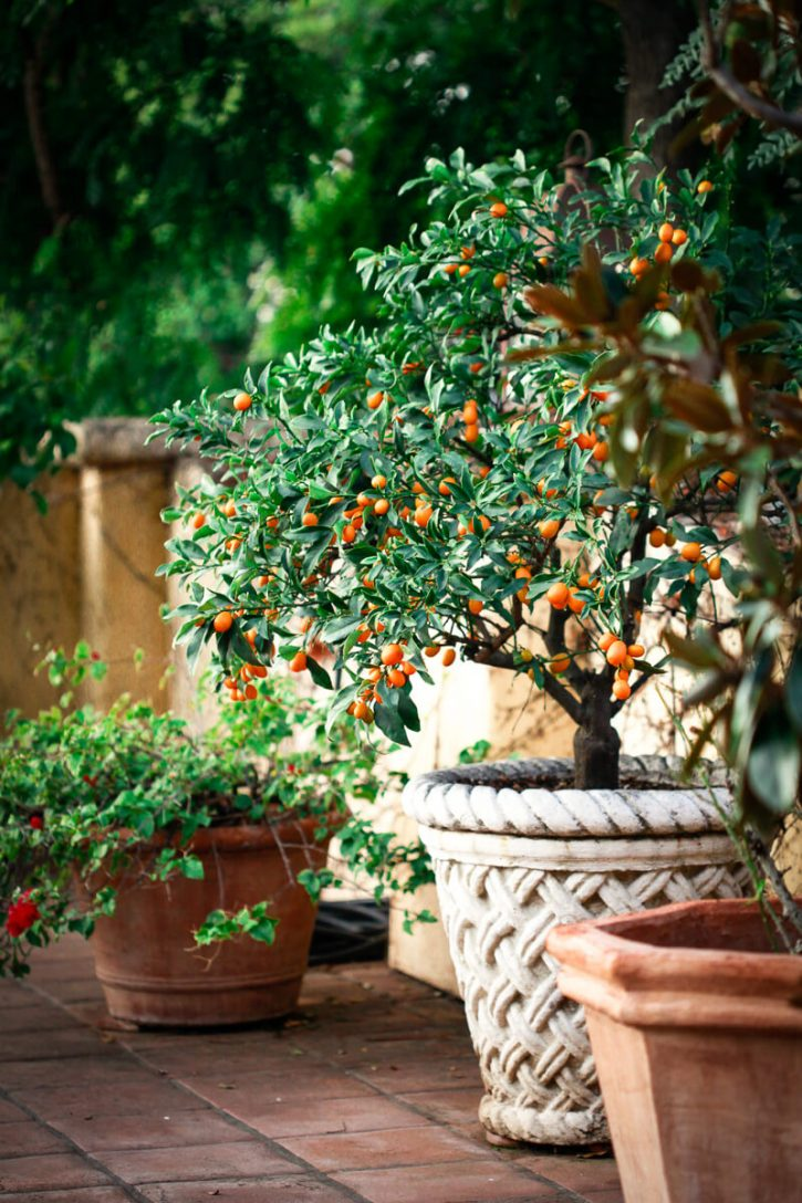 A beautiful dwarf kumquat tree in an Italian pot on a patio.
