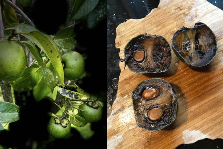 Photos of black sapote growing on a tree and ripe black sapote cut in half and ready to eat.