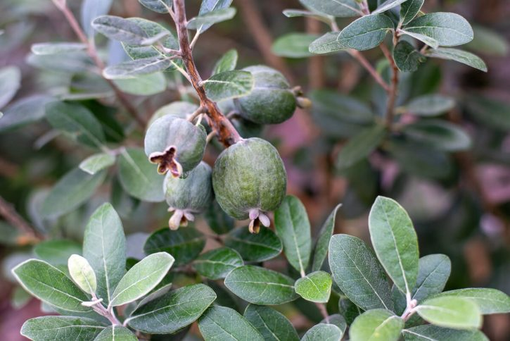 Fijoa or pineapple guava, grow on a tree.