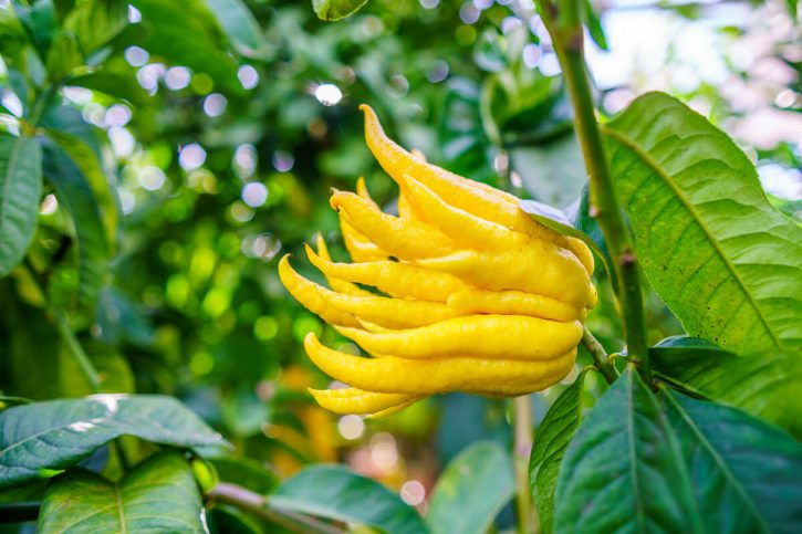 Buddha's hand citron grows on a tree.