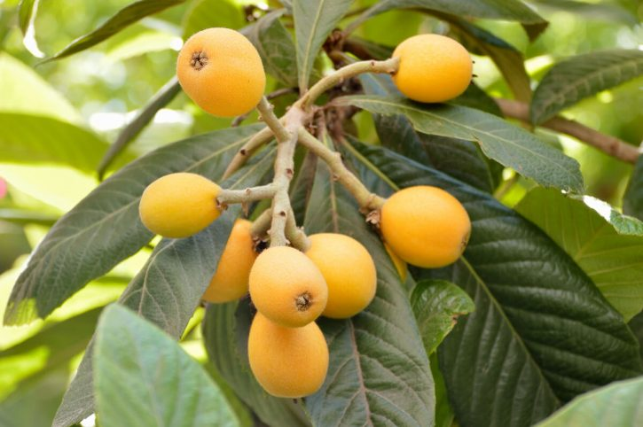 Loquats grow on a tree with large green leaves. A delicious sweet exotic fruit that grows in California.
