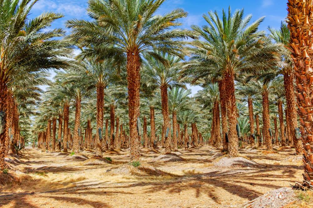 Photo of Medjool date palm trees growing in Israel.