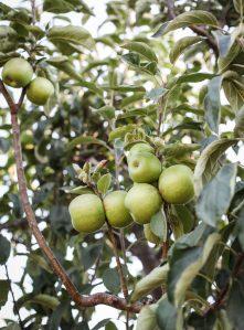 Green apples on a backyard apple tree.