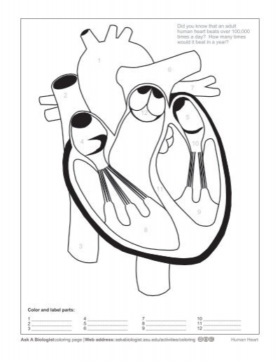ask a biologist  human heart  coloring worksheet