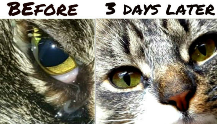 cat eye infection colloidal silver
