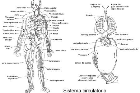 Dibujo Del Aparato Circulatorio Para Colorear picture gallery