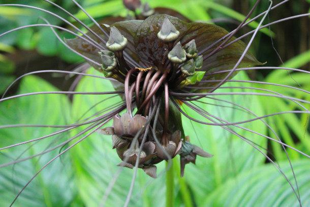 Bat wing flower