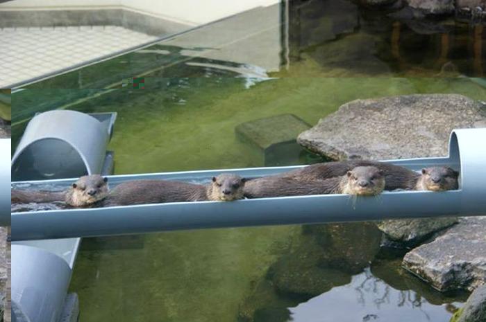 市川動植物園流しかわうそ