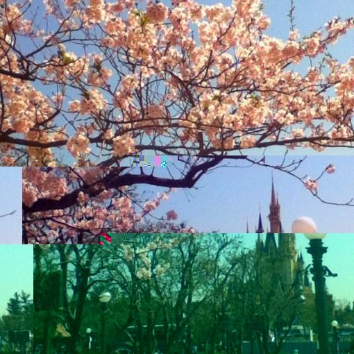 東京ディズニーランドの桜