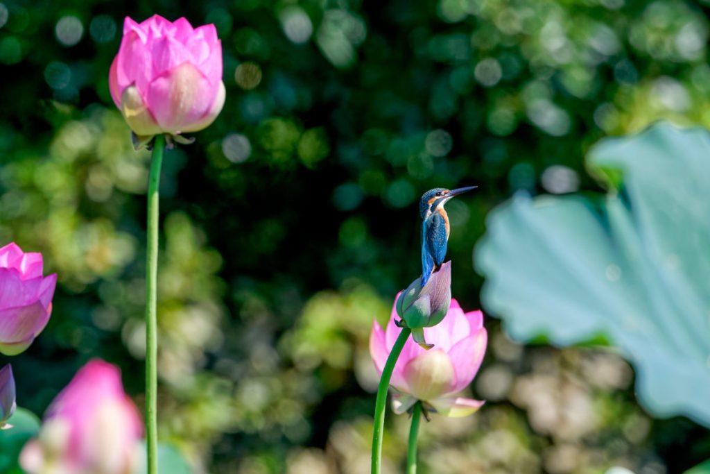カワセミと蓮の花 熊本市の八景水谷公園で野鳥撮影