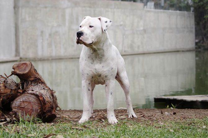 Dogo Argentino - Foto Valeria Ayvar