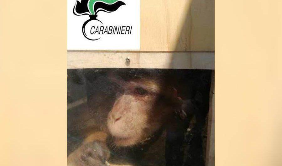 Belpasso. Scimmia sequestrata in una villa