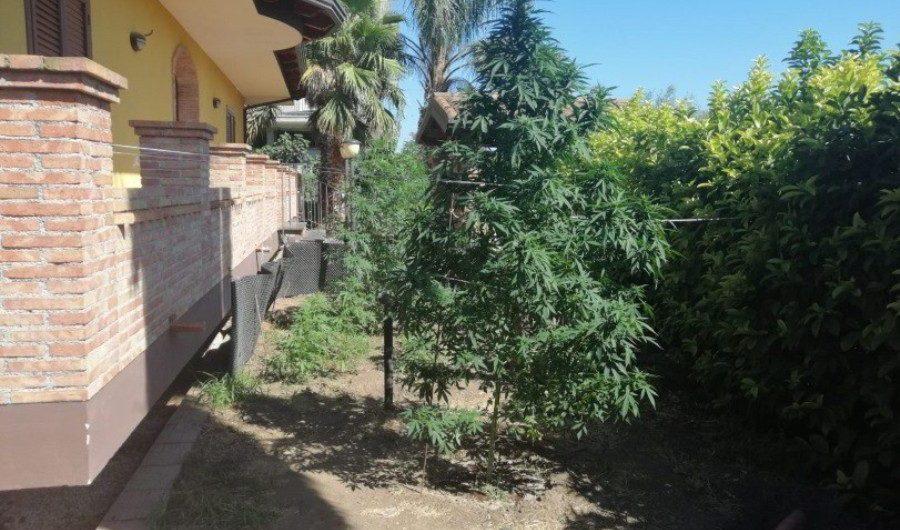 Belpasso. Arrestato pregiudicato che coltivava marijuana nel giardino di casa