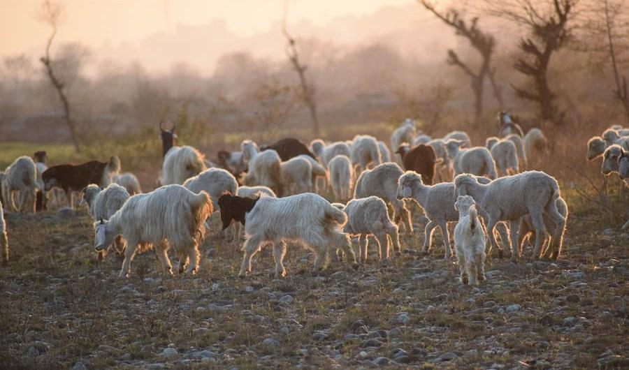 Adrano. Pecore in un fondo privato: denunciati due pastori